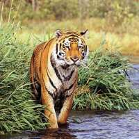 Do Bengal Tigers Live in the Rainforest?
