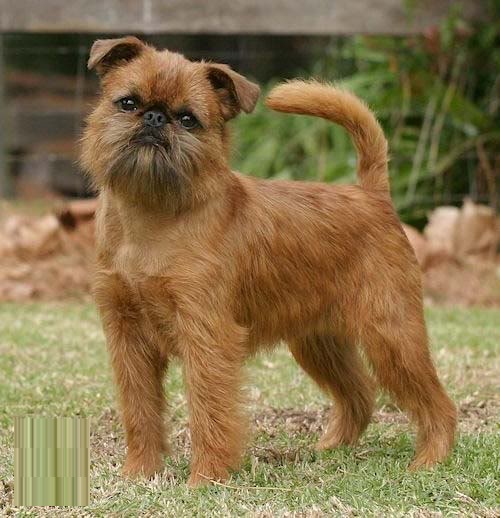 Image result for How to Diagnose Gingivitis in Brussels Griffons