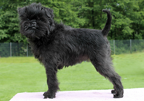 Affenpinscher Puppies Rescue Pictures Information
