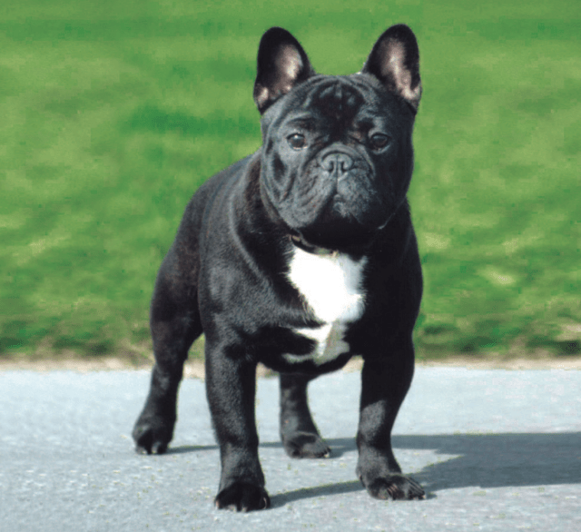 french bulldog - puppies, rescue, pictures, information