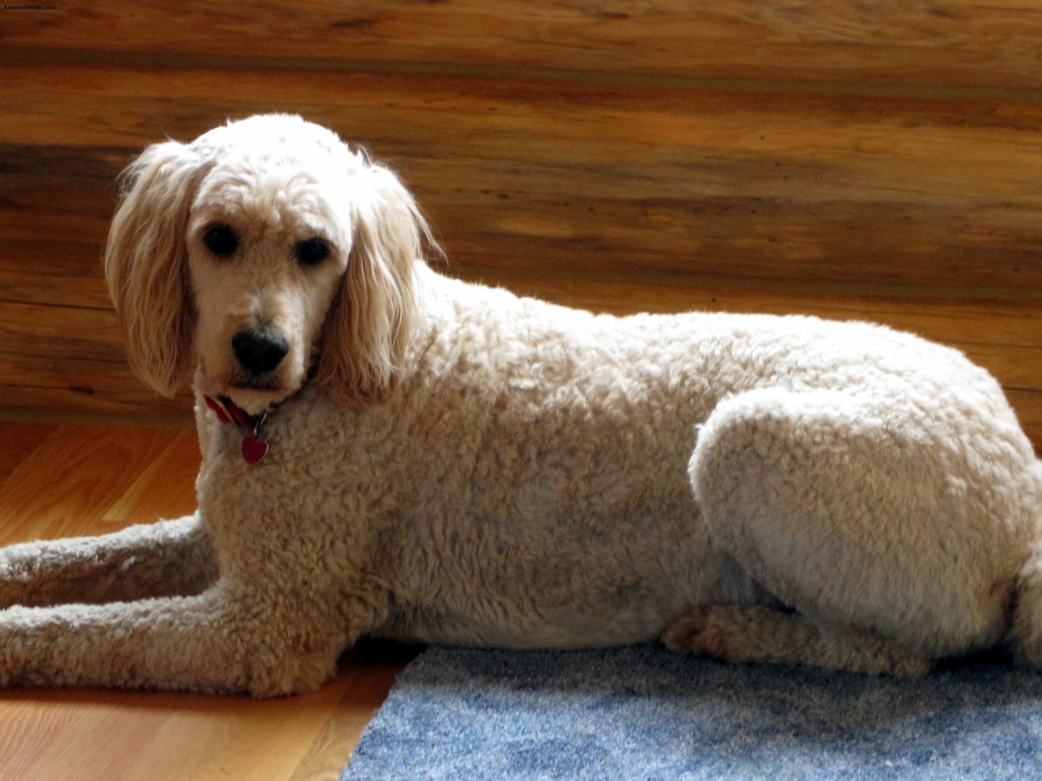 Goldendoodle  Puppies Rescue Pictures Information