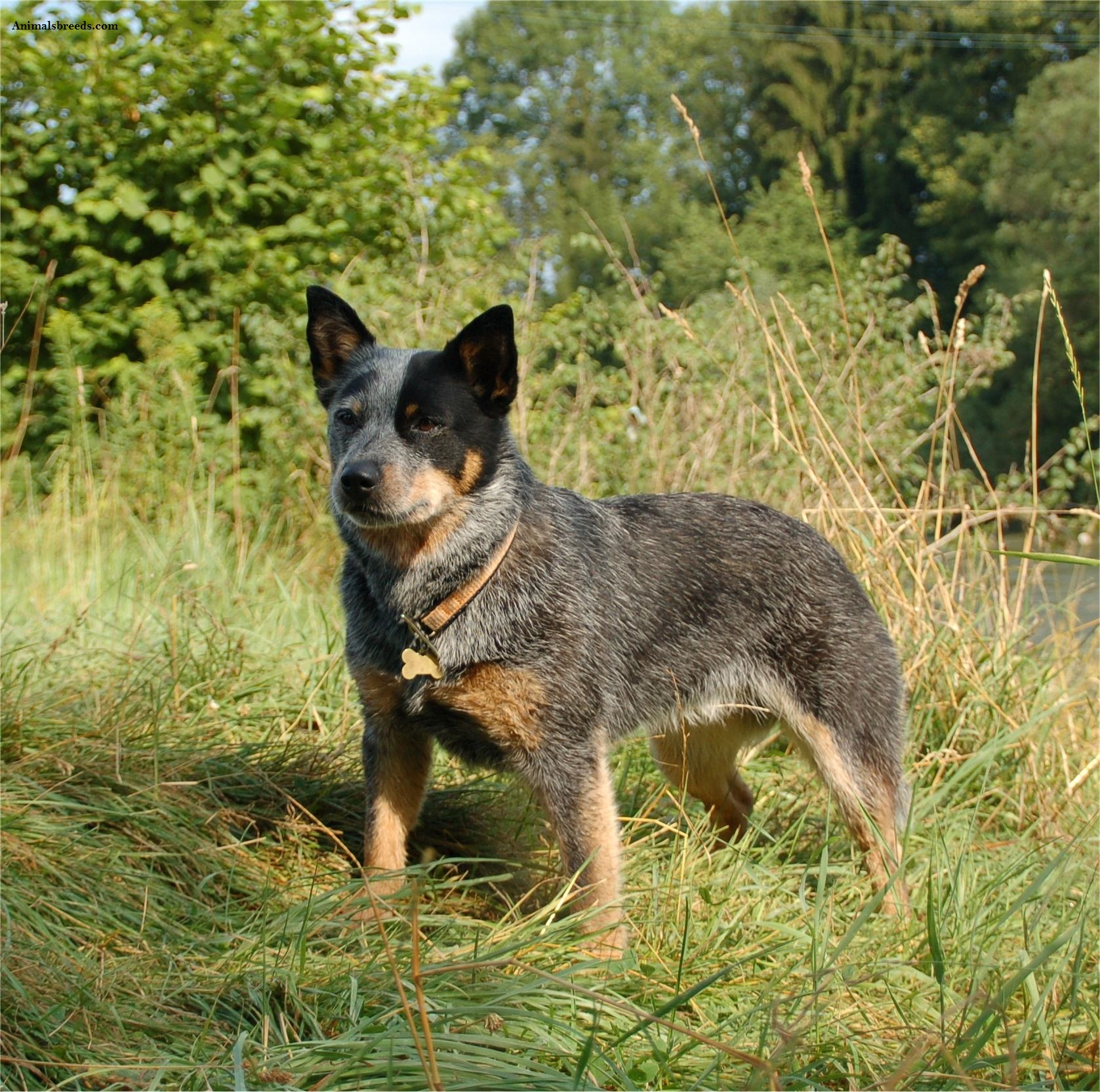 Cattle Dog Rescue Northern California