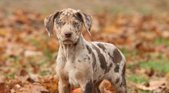 https://i0.wp.com/animalsbreeds.com/wp-content/uploads/2015/01/Catahoula-Leopard-Dog-14.jpg