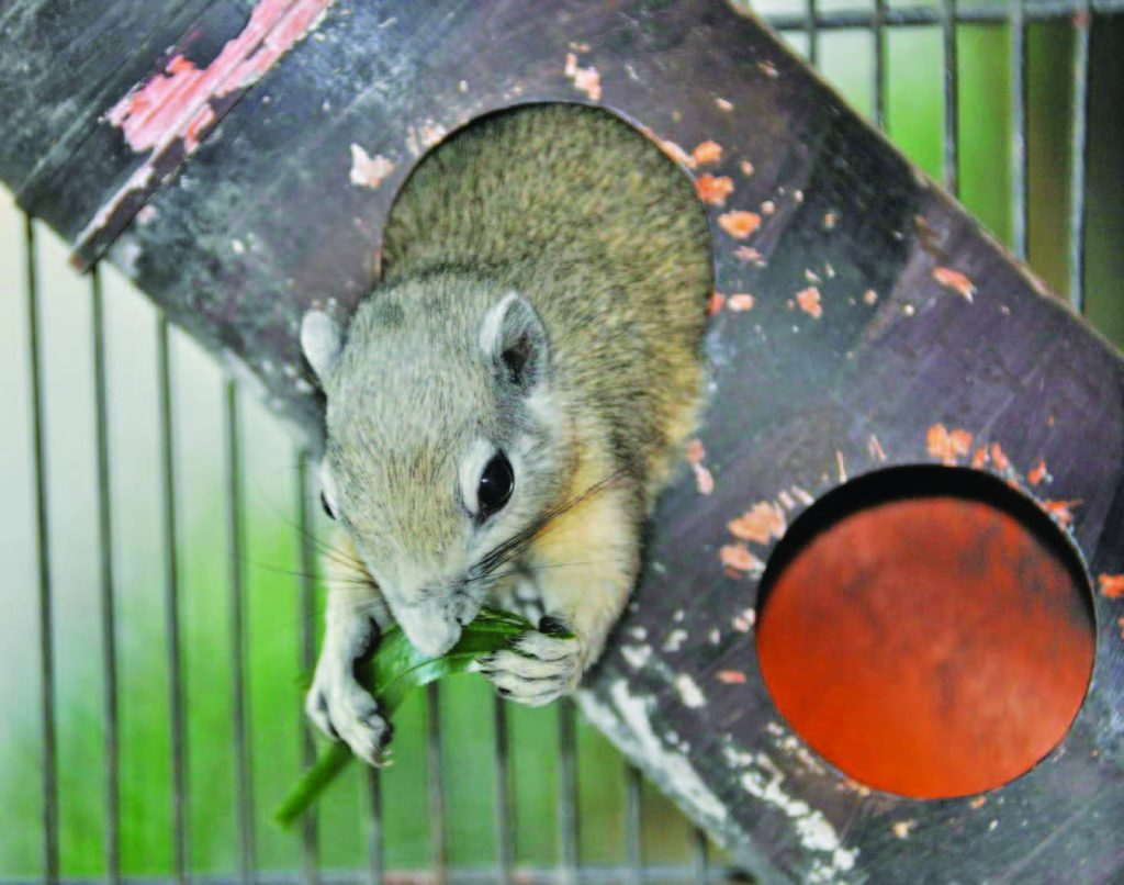 the philippine tree squirrel