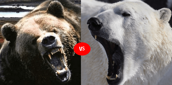 brown bear diagram ford trailer harness wiring polar vs grizzly fight comparison- who will win?