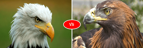 Golden eagle vs bald eagle fight comparison- who will win?