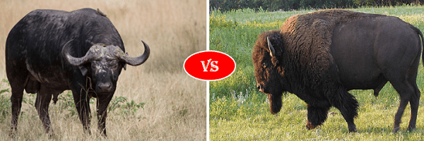 bison vs buffalo fight