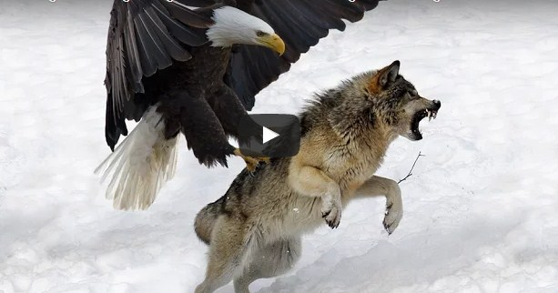 Cute Goat Wallpaper 7 World S Largest Eagle Attack Eagles Vs Bears Vs Fox