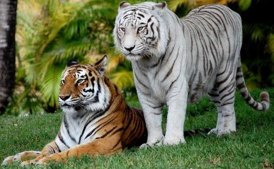 Tigre orange et tigre blanc