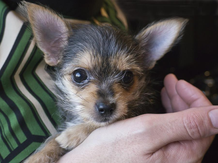 Chorkie Chihuahua Yorkie Mix Breed Review And 13