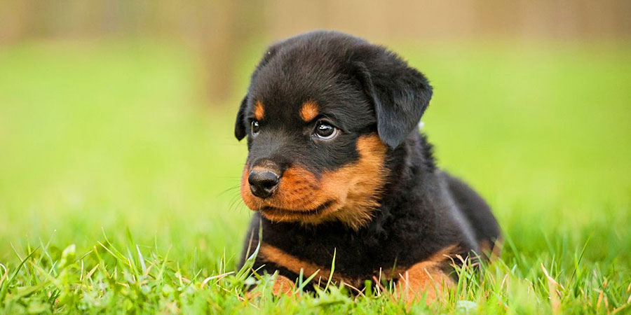 Cute Baby Sorry Hd Wallpaper Top 10 Misconceptions About Rottweilers Animalso