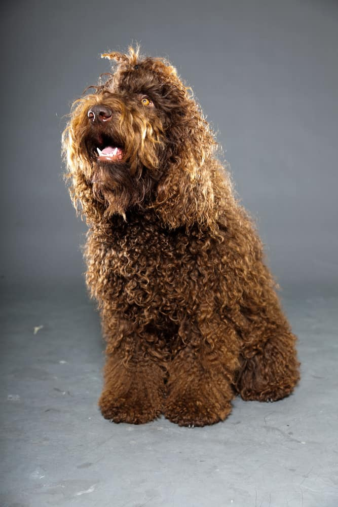 Portuguese Water Dog Brown And White : portuguese, water, brown, white, Questions, About, Portuguese, Water, Animalso
