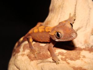 Cute Baby Gecos Wallpaper Crested Gecko Rhacodactylus Ciliatus Facts And Pictures