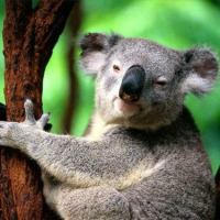 What Do Koalas Eat - Koalas Diet