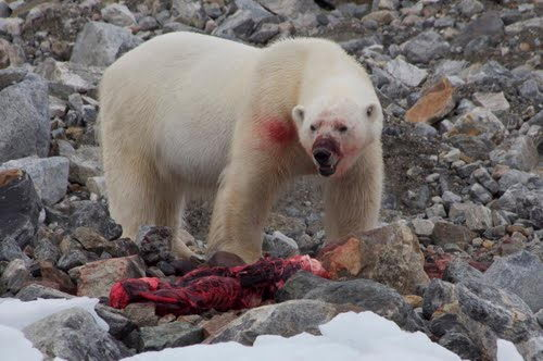 Hasil gambar untuk polar bear eating meat