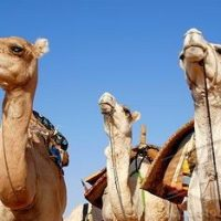 Camel Facts For Kids | Interesting Facts about Camels Diet & Habitat