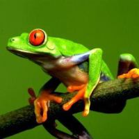 Red Eyed Tree Frog Facts For Kids | Red Eyed Tree Frog Habitat & Diet