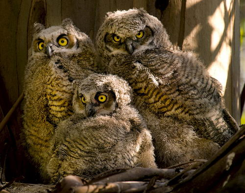 Cute Barn Tyto Owl Wallpaper Great Horned Owl Facts For Kids Great Horned Owl Diet