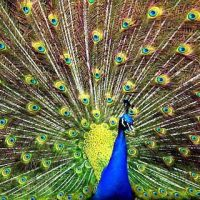 Peacock Facts For Kids | Peacock Diet & Habitat