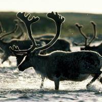 Reindeer Facts For Kids | Top 9