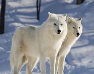 arctic wolf facts wolves habitat diet polar pretty
