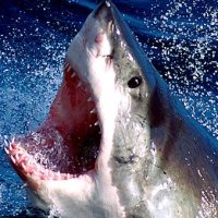 Great White Sharks Facts | Top 10 Interesting Facts