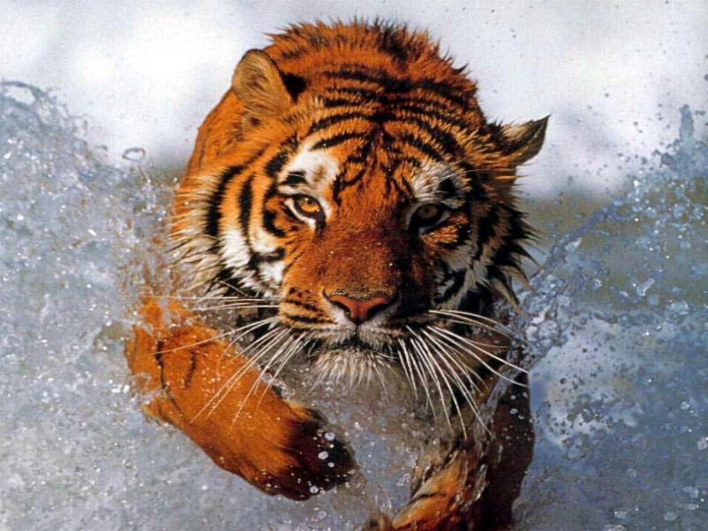 Image of: Habitat Animalstimecom Why Are Tigers Endangered Top Two Reasons