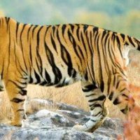 Wildlife Conservation Efforts in India