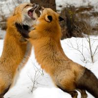 Do Foxes Eat Cats | Facts about Fox's Diet