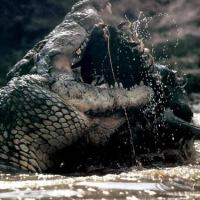 How Long Do Alligators Live in Captivity and in the Wild