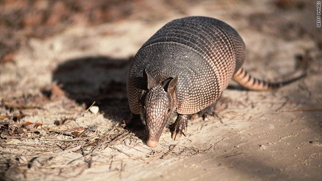 What Do Armadillos Eat in the Wild - Armadillos Diet