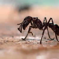 Bullet Ant Facts | Anatomy, Diet, Habitat, Behavior
