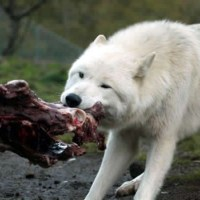 What Do Arctic Wolves Eat | Arctic Wolf's Feeding & Diet