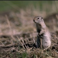 Ground Squirrel Facts | Anatomy, Diet, Habitat, Behavior
