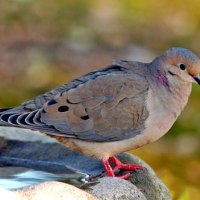 Mourning Dove Facts   Anatomy, Diet, Habitat, Behavior
