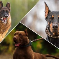 Top 4 Most Popular Pet & Guard Dogs