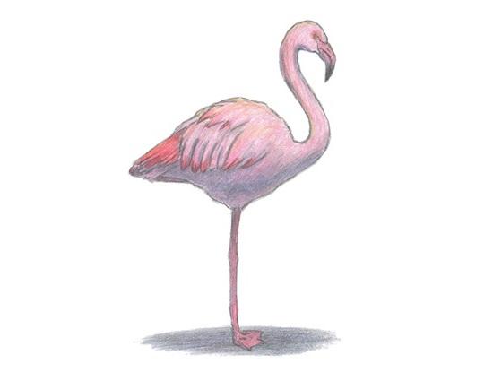 flamingo animalstodraw