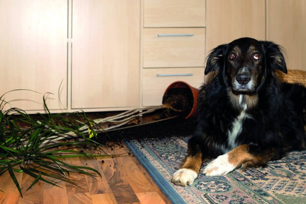 While this dog may look very guilty, dogs are in fact not capable of feeling guilt.