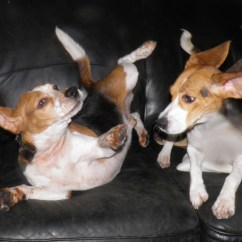 Sofa Bison Cat Dfs Beagles Wrestling On The Couch Animaltourism News