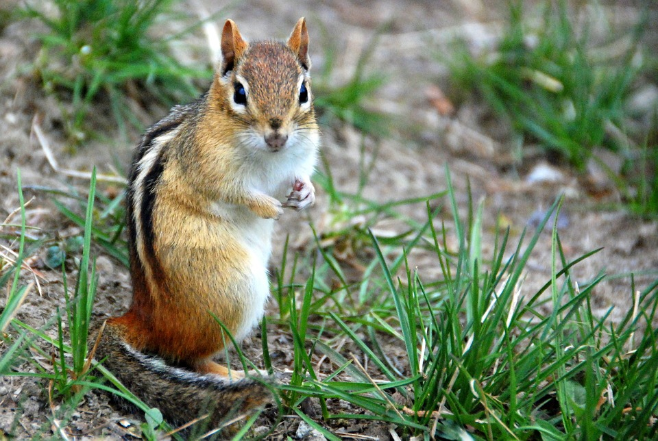 chipmunks animal trackers wildlife