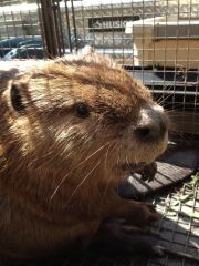 Affordable Beaver Trapping Services