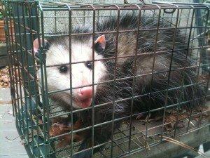 Opossum Trapped