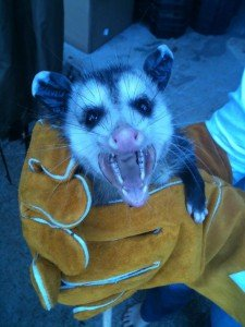 A young possum removed from Alpharetta GA