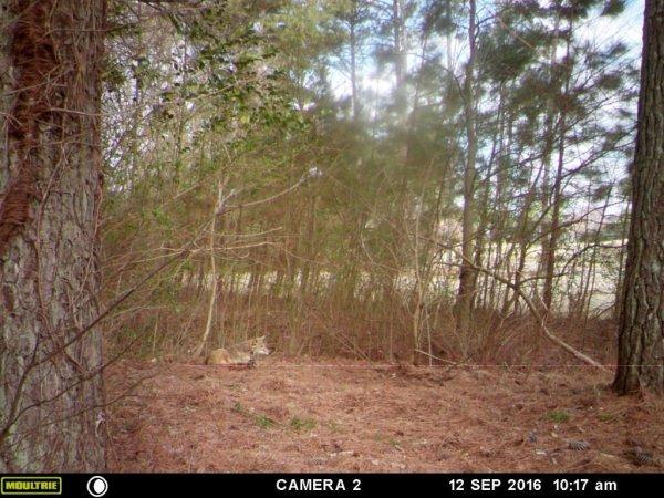coyote trapper johns creek