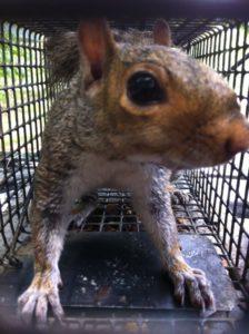 buckhead squirrel