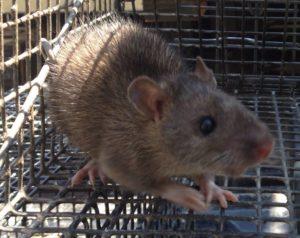 crabapple rat