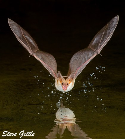 Pallid Bat - a species threatened in British Columbia. Photo: Steve Gettle