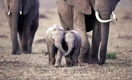 Elephant family trekking through terrain, two young elephants up front with tucks intertwined as they walk.