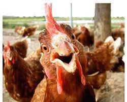 Sassy Chicken Farm - Reviews | Facebook