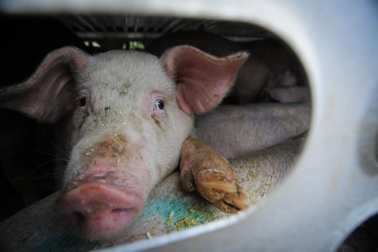 A pig arriving at the slaughter house. Photo by Jo-Anne McArthur.